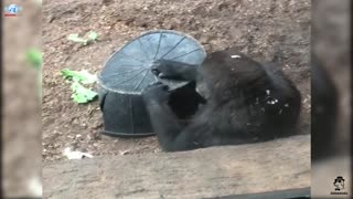 I'm hungry,baby Gorilla funny reactions in toronto zoo