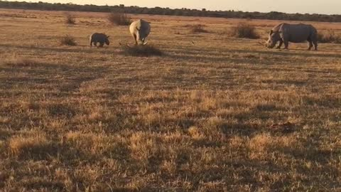 baby Rhino playing with brother and mother