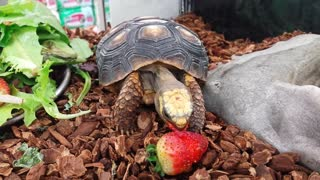 Baby Tortoise Eats A Strawberry