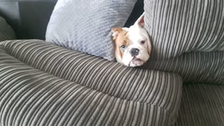 Bonnie the Bulldog Causes Chaos on Couch