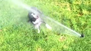 Small black dog trying to attack sprinkler on grass - Video