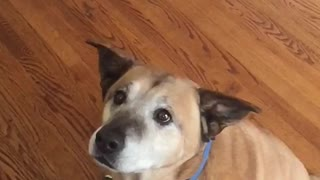 Brown dog misses orange treat toss hits face - Video