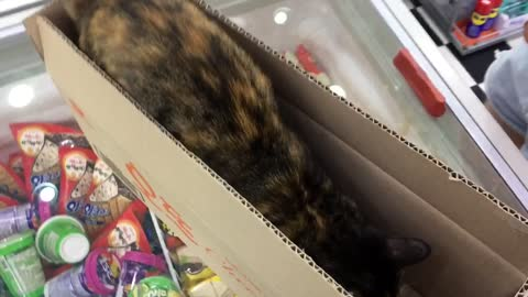 Convenience store cat plays with box