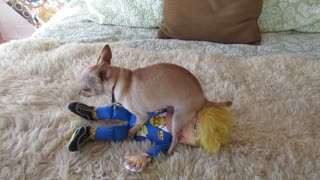 Chihuahua Protests Trump - Video