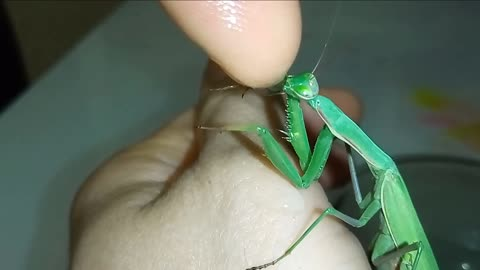 Praying mantis drinks water from human hand