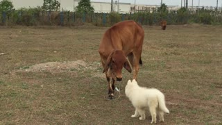 Dog and Cow are Friends