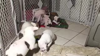 Super Cute Litter of Foster Puppies Playing  - Video