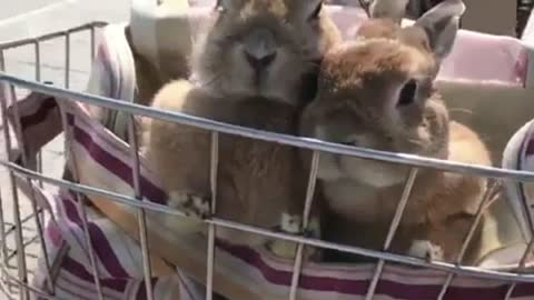 Rabbits Are Going Shopping in The Morning on The Bike