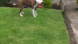Cute dog going crazy with her toy