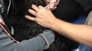 Black poodle screams at nail clipping - Video
