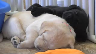 The puppies fell a sleep - Video