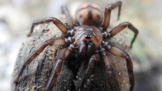 Beautiful New Zealand Banded Tunnelweb Spider