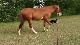 Border Collie happily walks alongside his horse best friend