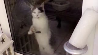 White dark grey cat clawing on glass - Video