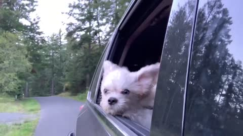 Tiny dog loves riding with head out window and ears blowing
