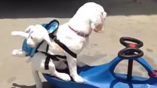 driving dogs two in one - Video