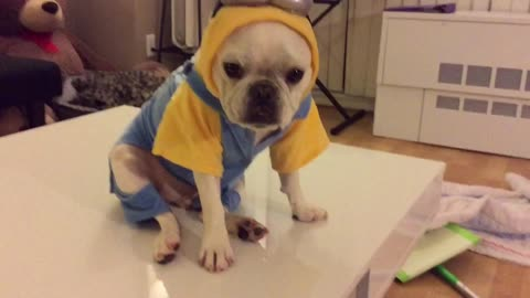 French Bulldog models 'Minions' costume