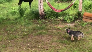 Moose Chases Playful Dog around Trees