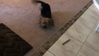 Yorkie goes absolutely bonkers over new bone - Video