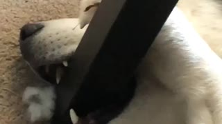 Silly husky decides to chew on table leg