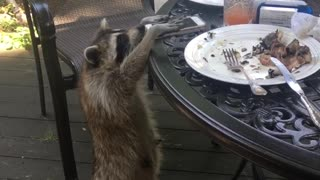 Raccoon Tries to Take Cell Phone