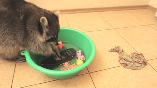Raccoon decides to wash and rinse owner's smartphone