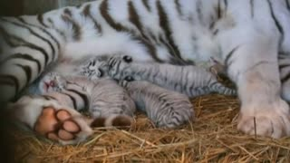 Rare tiger cubs born at Japanese zoo - Video