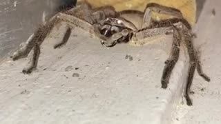 Large Huntsman Spider Cleaning Its Fangs - Video