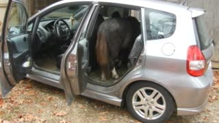 Miniature Horse Cody Loading Into My Honda FIT  - Video