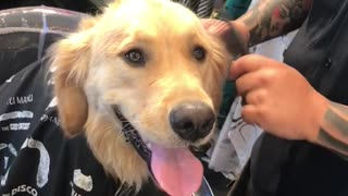 Patient Golden Retriever Gets A Fur Cut At The Barber Shop