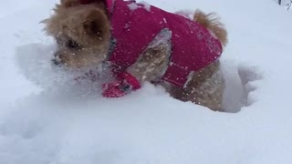Brown dog in pink sweater gets tossed into snow - Video