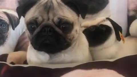 Pug camouflages perfectly into pug-pillow background