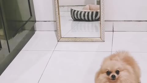 Pomeranian performs twirl every time he sees his reflection