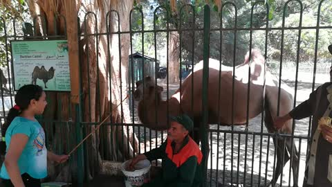 Hungry Hungry Bactrian Camel Eat Carrots By Kids