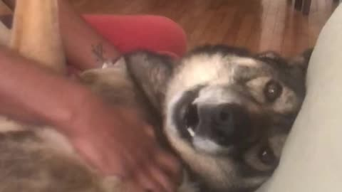 Happy dog howls in excitement for scratches