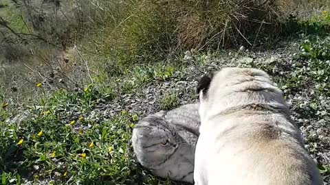 Pug and cat wrestle atop beautiful Spanish mountain