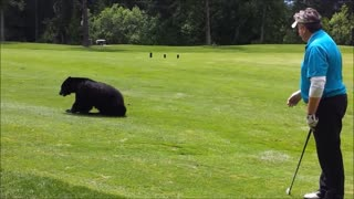 Black Bear Joins Golfers On Course For A Game Of 'Eat The Ball' - Video