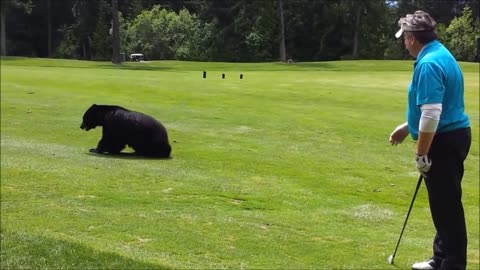 Black Bear Joins Golfers On Course For A Game Of 'Eat The Ball'