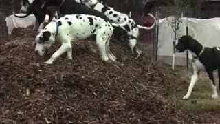 Great Danes Play King of the Hill  - Video