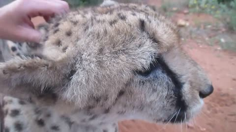 Old Rescued Cheetah Purring