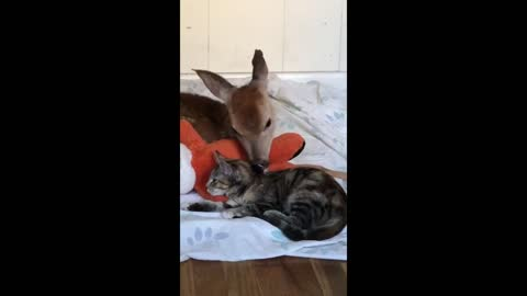 Whitetail deer fawn shares amazing friendship with rescue kitten