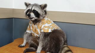 Pet raccoon shows off his super cool Hawaiian shirt