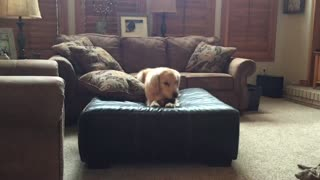 Golden Retriever participates in ottoman olympics - Video