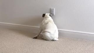 White bulldog drags butt around in circle on carpet - Video