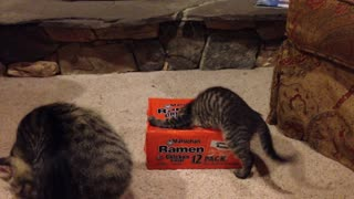 Curious kittens play in Ramen box - Video