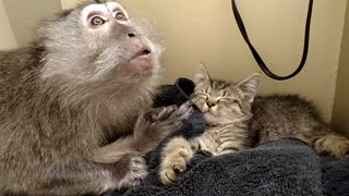 Monkey extremely excited for rescued kitten addition - Video