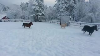 Mini Horses Playing In The Snow! - Video