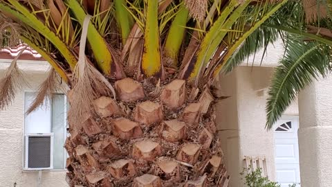The Perfect Palm Tree with lots of date fruit