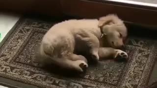 sleeping golden dog inside the house - Video