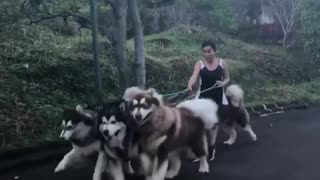 Trying to walk a pack of Alaskan Malamutes is no easy task!